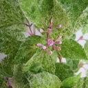 花木 庭木の苗/ムラサキシキブ(紫式部):紫々紫(シジムラサキ)3号ポット