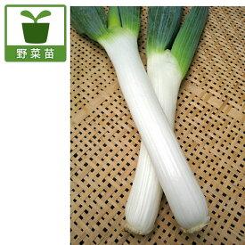 野菜の苗/ネギ苗:下仁田ねぎ2.5〜3号ポット12ポットセット