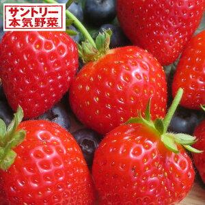 野菜の苗/イチゴ:らくなりイチゴ3号ポットR
