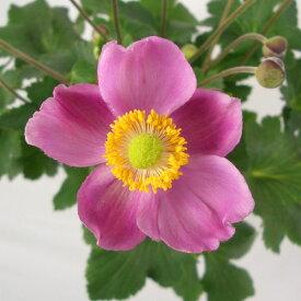 草花の苗/シュウメイギク(秋明菊):ルフィア3号ポット6株セット