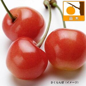 果樹の苗/サクランボ:さおり4〜5号ポット*