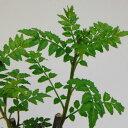 果樹の苗/山椒(サンショウ):葉サンショウ4〜5号ポット