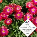草花の苗/耐寒マツバギク:砂漠の宝石ルビー3号ポット