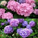 花木 庭木の苗/造園用アジサイ2種セット(在来種のアジサイ青花と西洋アジサイピンク系)