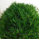 サギナ(アイリッシュモス):グリーン3号ポット 6株セット