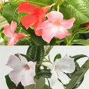 草花の苗/マンデビラ:ルビースターとホワイトデライトのセット