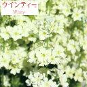 草花の苗/[21年1月中下旬予約]サクラソウ:ウインティーライムグリーン3.5号ポット
