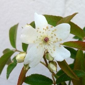 バラの苗/[21年10月中下旬予約]モッコウバラ:白花一重 大苗4号ポット