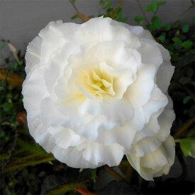 草花の苗/[20年9月中下旬予約]フォーチュンベゴニア:ホワイト3.5号ポット