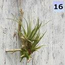フェイクグリーン チランジア グリーン 養生 活着 エアプランツ ミニ 壁掛け 人工観葉植物 おしゃれ ウォールアート …