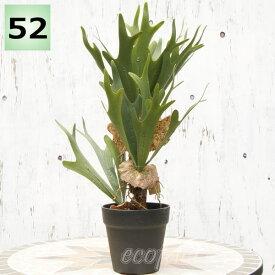 フェイクグリーン コウモリラン コロナリウム(ビカクシダ)52cm ポット 大型 人工観葉植物 おしゃれ ウォールアート 造花 壁面緑化 パネル ボード アートフレーム アレンジメント 飾り