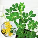 コバノセンナ(カッシア) 3株仕立苗[小葉の旃那]7号鉢スクランブルエッグ 花 ガーデン DIY 観葉植物 花木 熱帯植物 庭植え 鉢植え
