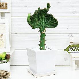 現品 マハラジャ(ユウヤケサンゴ)/H36cm ホワイト陶器鉢 おすすめインテリアグリーン ユーフォルビア Euphorbia lactea 育て易い 人気 多肉植物 観葉植物 インテリア 風水 レア 送料無料