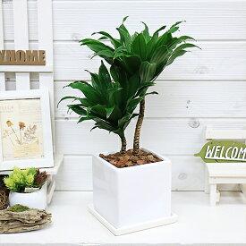 現品 ドラセナ コンパクタ/H43cm 陶器鉢仕立 花 ガーデン DIY 観葉植物 送料無料 光沢のある濃い緑色の葉 乱れにくい樹形 耐陰性 ドラセナ ワーネッキーの矮性 ドラセナ デレメンシス 風水 幸福の木の仲間