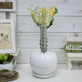 【送料無料・現品】ユーフォルビア・ホワイトゴースト/h34cm 陶器鉢仕立 希少種 育て易い 多肉植物 Euphorbia lactea White Ghost 多肉植物 バンザイ さぼてん サボテン インテリア