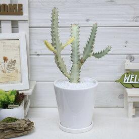 【送料無料・現品】ユーフォルビア・ホワイトゴースト/h35cm 陶器鉢仕立 希少種 育て易い 多肉植物 Euphorbia lactea White Ghost 多肉植物 バンザイ さぼてん サボテン インテリア