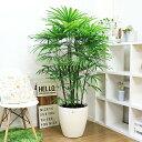 観葉植物 シュロチク/H160cm〜H170cm 10号鉢 大型 棕櫚竹 インテリア 企業/個人事業主様送り用商品です。※大型商品の為、細かい時間指…