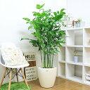 高性チャメドレア(チャメドレア・ミクロスパディクス)/H160cm 10号鉢 コウセイチャメ 観葉植物 大型 ヤシの木 法人・個人事業主専用…