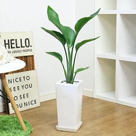 観葉植物 人気のインテリア【ストレリチア・オーガスタ/80cm】陶器鉢仕立 育てやすい 送料無料