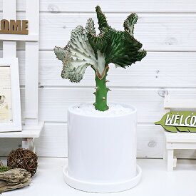 マハラジャ(ユウヤケサンゴ)/H40cm 陶器鉢 おすすめインテリアグリーン ユーフォルビア Euphorbia lactea 育て易い 人気 多肉植物 観葉植物 インテリア 風水 レア