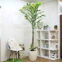 超レア物 美しい斑入りクジャクヤシH220cm(10号鉢)観葉植物 大型 学名, Caryota mitis. 和名, コモチクジャクヤシ. 流通名, クジャク…