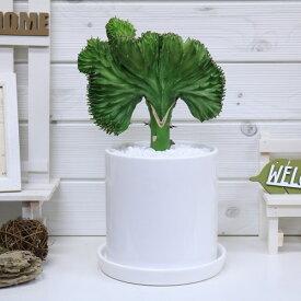 大きなマハラジャ(ユウヤケサンゴ)/H35cm ラウンドホワイト陶器鉢 現品 花 ガーデン DIY ガーデニング おすすめインテリアグリーン ユーフォルビア Euphorbia lactea 育て易い 人気 多肉植物 インテリア 風水 送料無料