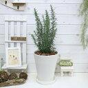 ローズマリー マリンブルー H65cm 7号鉢 立性 ハーブ アロマ 観葉植物 条件付送料無料