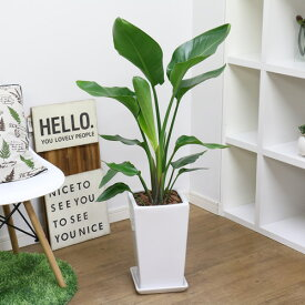 人気のインテリア ストレリチア オーガスタ スクエアホワイト陶器鉢仕立 大型 観葉植物 縁起物 おしゃれ ギフト 送料無料
