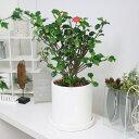トゲナシハナキリン ゲロルディー(棘無花麒麟)/H45cm 陶器鉢仕立 花 ガーデン DIY 観葉植物 砂漠などの劣悪な環境でも育つ為非常に丈夫…
