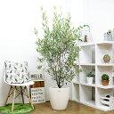 新品種【オリーブ (品種名:ひなかぜ)/170cm】10号 現品 花 ガーデン DIY 観葉植物 大型 ガーデニング シンボルツリー オリーブの木 屋…