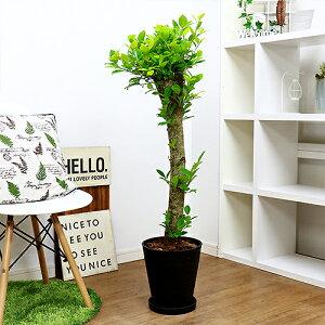 観葉植物 極太ガジュマルの木/H115cm 8号鉢 現品 鉢植え 癒し 風水 シンボルツリー 幹の太い 中型 大型 フィカス がじゅまる
