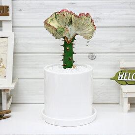 観葉植物 大き目のマハラジャ(ユウヤケサンゴ)/H36cm 陶器鉢仕立 花 ガーデン DIY ガーデニング おすすめインテリアグリーン ユーフォルビア Euphorbia lactea 育て易い 人気 多肉植物 インテリア 風水 送料無料