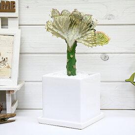 美しい色合いのマハラジャ(ユウヤケサンゴ)/H33cm キューブホワイト陶器鉢オシャレ観葉 おすすめインテリアグリーン ユーフォルビア Euphorbia lactea育て易い 人気 多肉植物 観葉植物 インテリア 風水 レア 父の日
