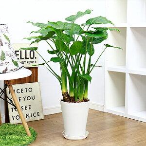 観葉植物 現品 シマクワズイモ/H85cm 7号鉢 花 ガーデン DIY ハート形した葉がかわいい インテリア テーブルグリーン ヒメクワズイモ(アロカシア・ククラータ)トトロの傘 出世芋 風水 贈り