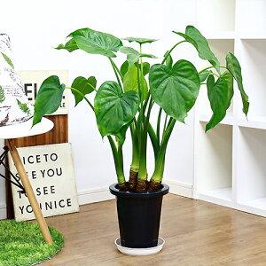 観葉植物 現品 シマクワズイモ/H78cm 7号鉢 花 ガーデン DIY ハート形した葉がかわいい インテリア テーブルグリーン ヒメクワズイモ(アロカシア・ククラータ)トトロの傘 出世芋 風水 贈り