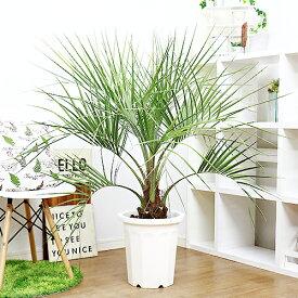 観葉植物 ココスヤシ(ヤタイヤシ)/h125cm 10号鉢 大型商品の為日時指定不可