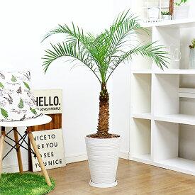 現品 観葉植物 フェニックス ロベレニー/H111cm 高級樹脂製8号鉢仕立 ロベリニー シンノウヤシ 送料込み