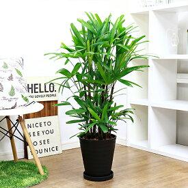 緑の宝石 観音竹 セラアート8号鉢仕立 現品 観葉植物 カンノンチク 日陰 送料無料