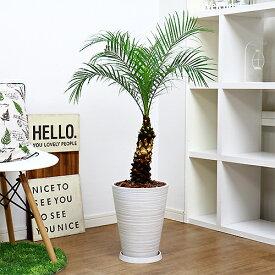 現品 観葉植物 フェニックス ロベレニー/H105cm 高級樹脂製8号鉢仕立 ロベリニー シンノウヤシ 送料込み