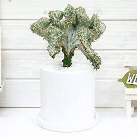 観葉植物 大きなマハラジャ(ユウヤケサンゴ)/H35cm 陶器鉢 現品 おすすめインテリアグリーン ユーフォルビア Euphorbia lactea 育て易い 人気 多肉植物 インテリア 風水 レア