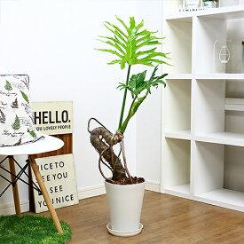 観葉植物 現品一鉢 フィロデンドロン セローム/h95cm 7号 中型 トゲのある品種 特殊曲がり樹形 幹上がり 存在感 ヒトデカズラ イモ 学名 Philodendron selloum