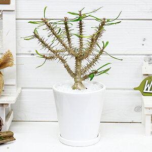 ユーフォルビア・ミリー・ハイブリッド/H29cm 陶器鉢 ハナキリン(花麒麟) 多肉植物 観葉植物 ユーホルビア 塊根植物