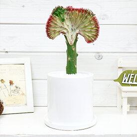 現品 ユーフォルビア マハラジャ(ユウヤケサンゴ)/H33cm 陶器鉢 おすすめインテリアグリーン Euphorbia lactea 育て易い 人気 多肉植物 インテリア 風水 送料無料