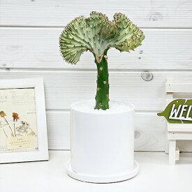 現品 マハラジャ(ユウヤケサンゴ)/H33cm 陶器鉢仕立 受皿付 インテリアグリーン ユーフォルビア ラクティア Euphorbia lactea 育て易い 人気 多肉植物 観葉植物 インテリア 風水 レア 送料無料