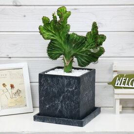 大きなマハラジャ(ユウヤケサンゴ)/H38cm コンクリートポット鉢 現品 花 ガーデン DIY ガーデニング おすすめインテリアグリーン ユーフォルビア Euphorbia lactea 育て易い 人気 多肉植物 インテリア 風水 送料無料