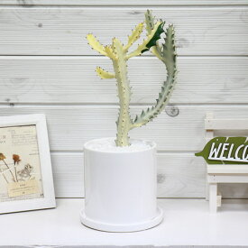 現品 ユーフォルビア ホワイトゴースト/h37cm 陶器鉢仕立 観葉植物 希少種 育て易い 多肉植物 Euphorbia lactea White Ghost 多肉植物 バンザイ さぼてん サボテン インテリア