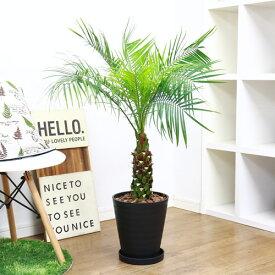 現品 観葉植物 フェニックス ロベレニー/H95cm 高級樹脂製8号鉢仕立 ロベリニー シンノウヤシ 送料込み