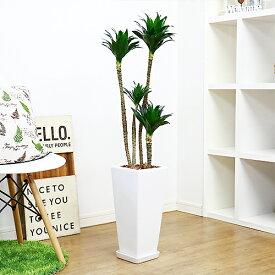 ドラセナ コンパクタ/H107cm 陶器鉢仕立 観葉植物 現品 ドラセナ ワーネッキーの矮性(ドラセナ デレメンシス)幸福の木の仲間