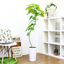 観葉植物 現品 フィカス ウンベラータ/H141cm 陶器鉢仕立 大型 インテリアグリーン 曲がり樹形 ハート