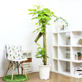 現品 フィカス アルテシーマ/H173cm 10号鉢 観葉植物 大型 ビッグサイズ ゴムの木 贈物 法人・個人事業主専用商品 送料無料 大型商品の為日時指定不可